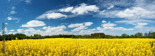 Fototapeta Rapeseed field panorama with beautiul sky
