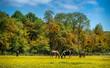 Obrazy na płótnie, fototapety, zdjęcia, fotoobrazy drukowane : Horses grazing in a field of Buttercups on a Maryland farm