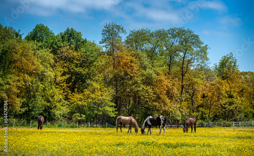 Zdjęcia na płótnie, fototapety, obrazy : Horses grazing in a field of Buttercups on a Maryland farm