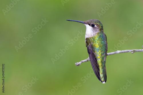 Hummingbird rubinowy (żeński)