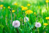 Fototapeta Air dandelions on a green field. Spring background.