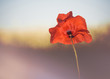 poppy flower at abstract background