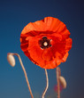 red poppy flower at summer meadow