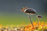 Fototapeta Ant on mushroom