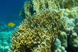fish anthias