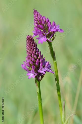 dzikie-orchidee-dzikie-orchidee