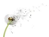 Dandelion, seed, wind.