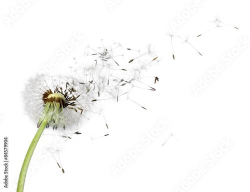 Fototapety, obrazy : Dandelion, seed, wind.