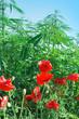 Red poppy flowers and cannabis - marijuana