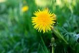 Fototapeta yellow flower of dandelion against a grass