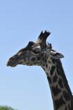 Fototapeta Sawanna - głowa żyrafy © npls