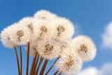 Fototapeta Bouquet of dandelions