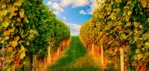 Leinwandbild Motiv Rows of grapevine in warm sunlight