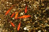 Fototapeta Do akwarium - Złote rybki pod wodą - Karpie Koi © agatop