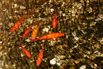 Złote rybki pod wodą - Karpie Koi