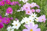 kosmos květina