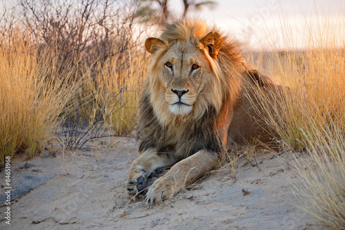 Poster Big male African lion, Kalahari desert