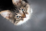 Fototapety little fluffy kitten on a gray background