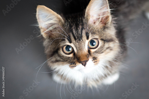 Poster little fluffy kitten on a gray background