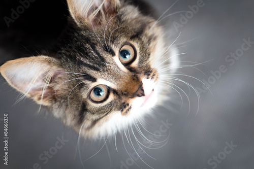 Poster, Tablou little fluffy kitten on a gray background