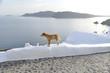 Obrazy na płótnie, fototapety, zdjęcia, fotoobrazy drukowane : dog on wall, Santorini Greece
