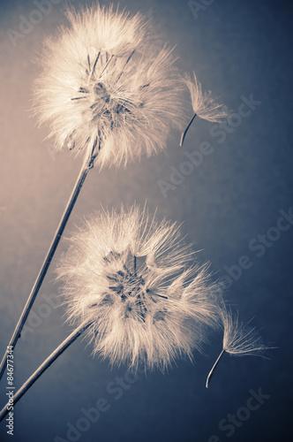 Two dandelions - 84677344