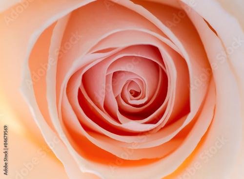 melancholia-paku-rozy