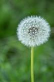 Fototapeta Löwenzahn, Pusteblume auf Frühlingswiese
