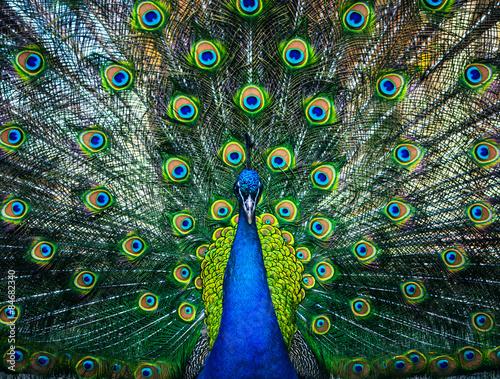 Foto op Aluminium Pauw beautiful peacock