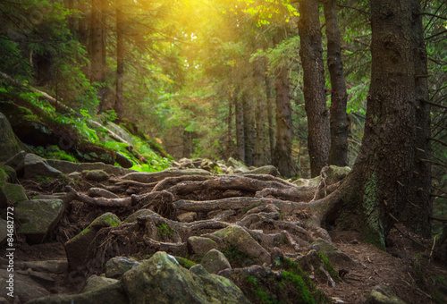 Fotobehang Betoverde Bos Dense mountain forest and path between the roots of trees.