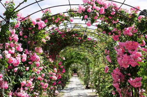 Fototapeta romantic rosebed walk