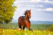 beautiful horse jumps on a green meadow