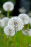 Fototapeta Reife Löwenzahnpflanze - Pusteblumen