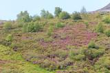 Valle de Leitariegos, Asturias  cubierto por flores de brezo