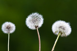 Fototapeta dandelions on blurred background