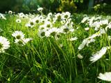 daisies - 84744724