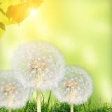 Fototapeta Meadow with dandelions under blue sky