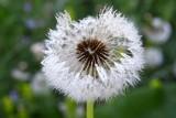 Fototapeta Dewdrops on the dandelion