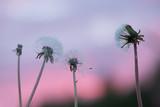 Fototapeta Dmuchawce przy zachodzie słońca