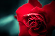 fresh red rose bud closeup at abstract background