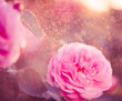 pink rose at colorful rainy background