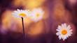 garden daisies at sunset light