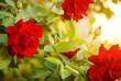 red roses bush at sunset light