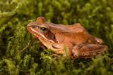 Frog sitting in ambush on green moss. It´s a spring frog (Rana dalmatina). poster