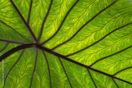 Papiers peints Nature Close-up groen blad met nerven