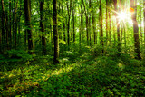 Fototapeta forest trees