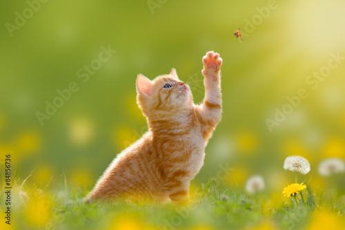 Zdjęcia na płótnie, fototapety na wymiar, obrazy na ścianę : Junge Katze/Kätzchen jagd einen Marienkäfer