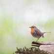 European Robin in tree