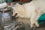 anesthetic dog laying on the operating table poster