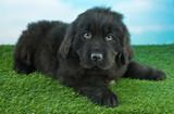 Newfoundland Puppy